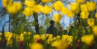 Цветение тюльпанов в Бишкеке. Архивное фото
