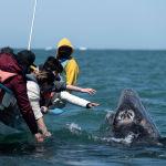 Люди пытаются прикоснуться к серому киту в лагуне Охо-де-Либре в Герреро-Негро (Мексика). 27 марта 2021 года