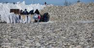 Сотрудники сортируют и укладывают рыбу в Сахалинской области. Архивное фото