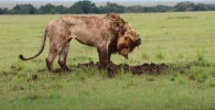 Лев на протяжении семи часов рыл землю, чтобы добраться до бородавочника, спрятавшегося в своей норе. В итоге упорство было вознаграждено.