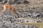Түштүк Африка Республикасындагы Крюгер улуттук паркына барган эс алуучулар суусунун кандырган антилопа аз жерден баткакта жаткан крокодилдин азыгы болуп кала жаздаганына күбө болушкан.
