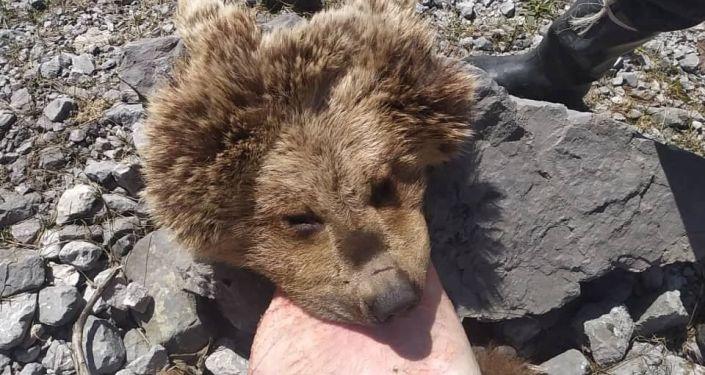 Шерсть краснокнижного бурого медведя, обнаруженная у жителя Джалал-Абадской области
