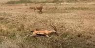 Газель начала стремительно ускоряться, быстро отдаляясь от львицы, но споткнулась и упала в овраг. Это попало на видео.
