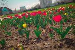 На столичных клумбах начали цвести тюльпаны
