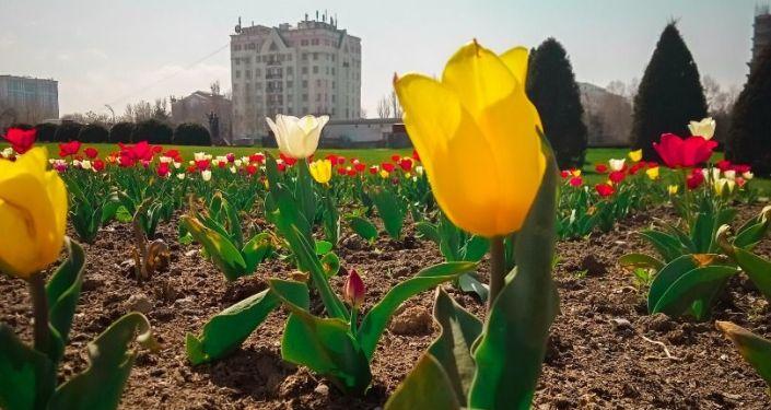На столичных клумбах начали цвести тюльпаны. 13 апреля 2021 года