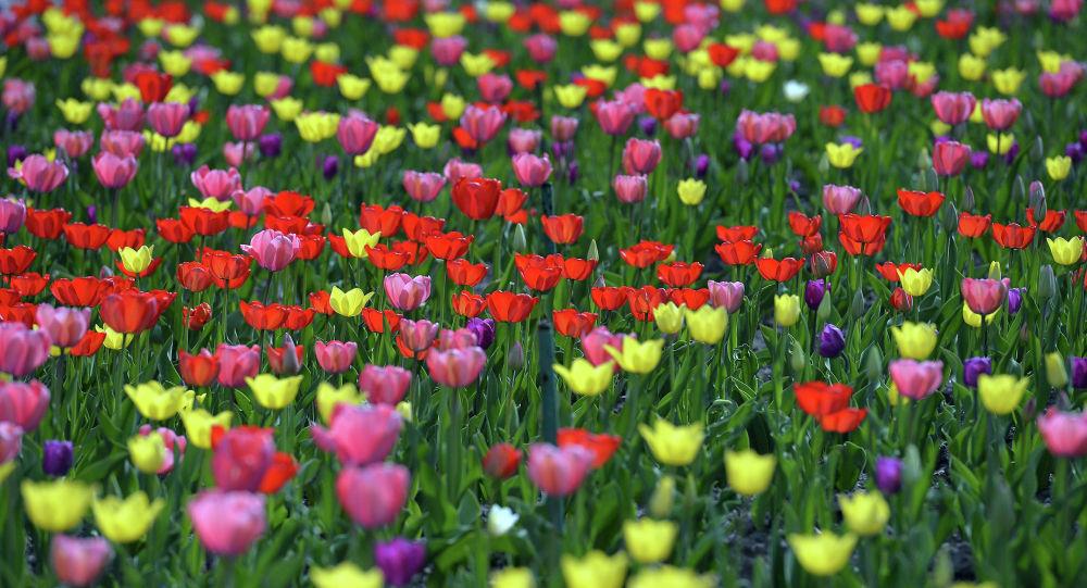 Цветение тюльпанов на столичных клумбах