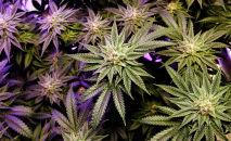 Растение марихуаны. Архивное фото