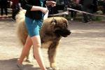 Сегодня, 17 апреля, в Бишкеке прошла Международная выставка собак всех пород из Средней Азии 2021 года.