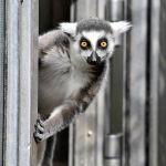 Германиянын Дуйсбург шаарындагы зоопаркта мышык тукумдуу лемур эшиктен сыртты карап турат