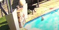 Пользователей соцсети умилило видео, в котором запечатлено, как семилетний стаф спас тонущего в бассейне шпица. Момент спасения попал на камеру видеонаблюдения.