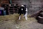 В Северной Македонии на свет появился теленок с двумя головами и четырьмя глазами. Когда животное сосет молоко одним ртом, другой синхронно воспроизводит эти движения.