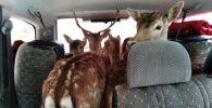 Попытка незаконного вывоза оленей из Кыргызстана