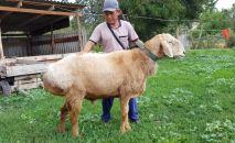 Новую породу овец вывели и зарегистрировали в Кыргызстане