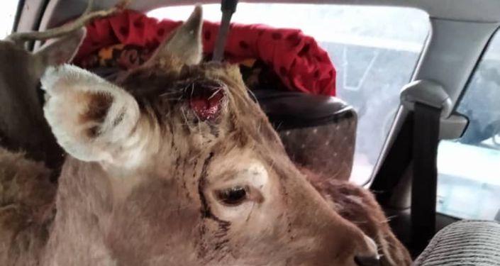 Пресечена попытка вывоза оленей из Кыргызстана на минивэне марки Toyota Previa