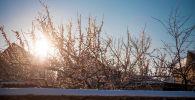 Снег на распустившийся цветках абрикосового дерева. Архивное фото