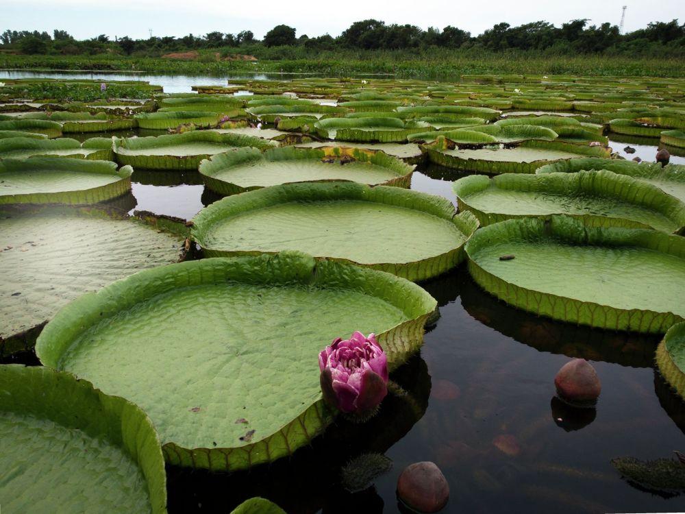 Лимпиодогу (Парагвай) Серро көлмөсүндөгү Виктория Амазонка деген ат менен таанымал суу лилиялары