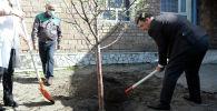 Президент Садыр Жапаров Эскерүү багы акциясынын алкагында көчөт отургузду