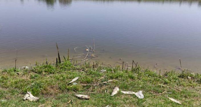 На берегах прудов в селе Пригородном Аламудунского района зафиксирована массовая гибель рыбы