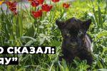 Алматынын зоопаркында эки жылдын ичинде ягуар экинчи ирет тууду. Быйыл жарыкка келген жырткычтын баласы кара түстүү экенин көрүүгө болот.