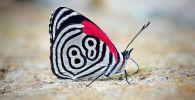 Фотографу дикой природу Томасу Маренту удалось снять на камеру редкую бабочку, крылья которой украшает цифра 88.