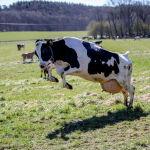 Корова резвится на пастбище в Швеции после нескольких месяцев, проведенных в стойле.