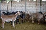 Новая порода овец выведенная и зарегистрированная в Кыргызстане