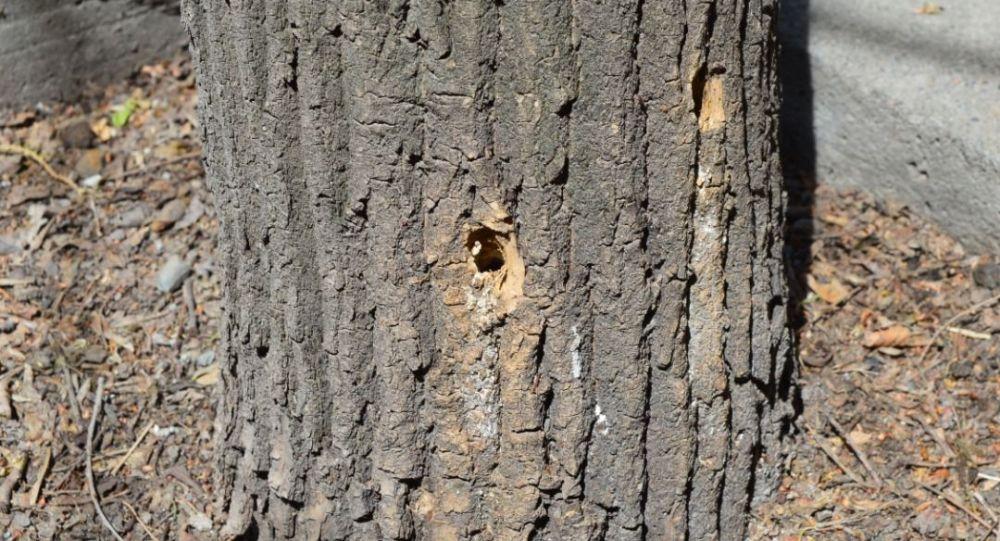 Дерево вдоль улицы Абрахманова в Бишкеке, намеренно травленное химическим веществом