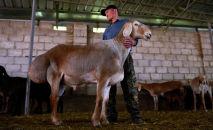 В этом году в Кыргызстане официально зарегистрировали новую породу мясо-сальных овец Арашан. По своим характеристикам она превосходит эталонных гиссарских баранов. Подробности — в видео Sputnik Кыргызстан.