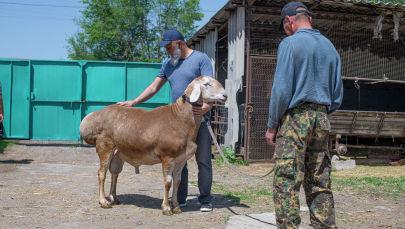 Фермер из Новопавловки Ильшат Габбазов показывает новую породу мясо-сальных овец Арашан, официально зарегистрированного в Кыргызстане.