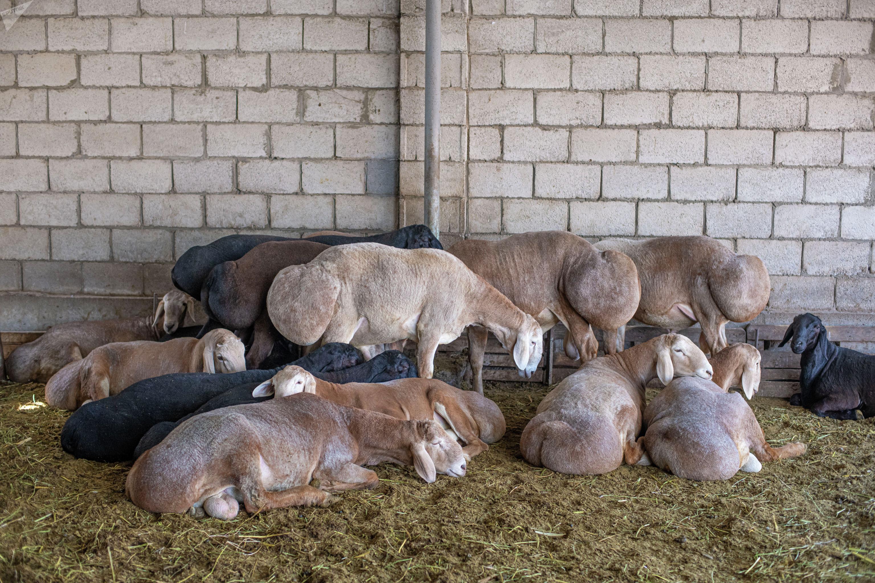 Новая порода мясо-сальных овец Арашан, официально зарегистрированного в Кыргызстане.