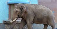 Слон в зоопарке. Архивное фото