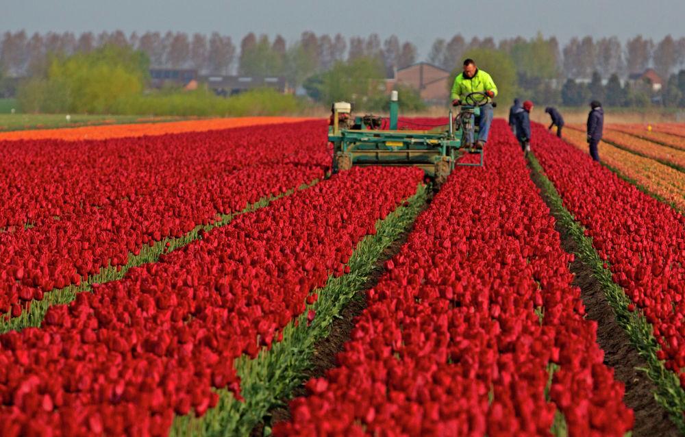 Фермеры работают на тюльпановом поле в Меердонке, Бельгия. 3 мая 2021 года.