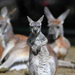 Детеныш кенгуру в зоопарке Хеллабрунн в Мюнхене, Германия. 3 мая 2021 года