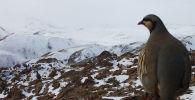 Нарын облусунун Кочкор районуна фотокапканга түшкөн жаныбарлар