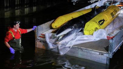 Детеныш кита, заплывший на мель реки Темзы в Лондоне, Великобритания