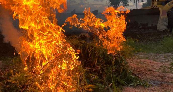 В Бишкеке сотрудники Службы по борьбе с незаконным оборотом наркотиков уничтожили 2 сотки конопли возле строящего парка Балалык на перекрестке Абдрахманова — Южная магистраль