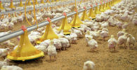 Ысык-Көлдө канаттуулардын ири фермасы