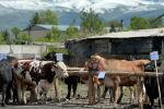 Скот на территории мясокомбината. Архивное фото
