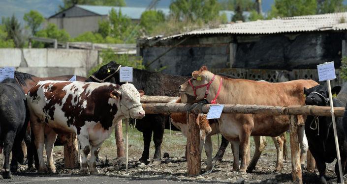 Скот на территории нового крупнейшего в Кыргызстане мясокомбината в Караколе