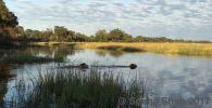 Видеозапись сделана во время сафари в одном из парков Ботсваны (Африка) в районе реки Линьянти на границе с Намибией. Львы пили воду, затем более молодой хищник вошел в воду и поплыл, а за ним последовал старший товарищ.