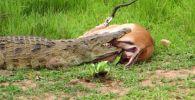 Кениядагы Масаи-Мара паркында олжо болуп кала турган жаныбардын эле эмес, окуяны көргөндөрдүн чыдамын алган учур болгон.