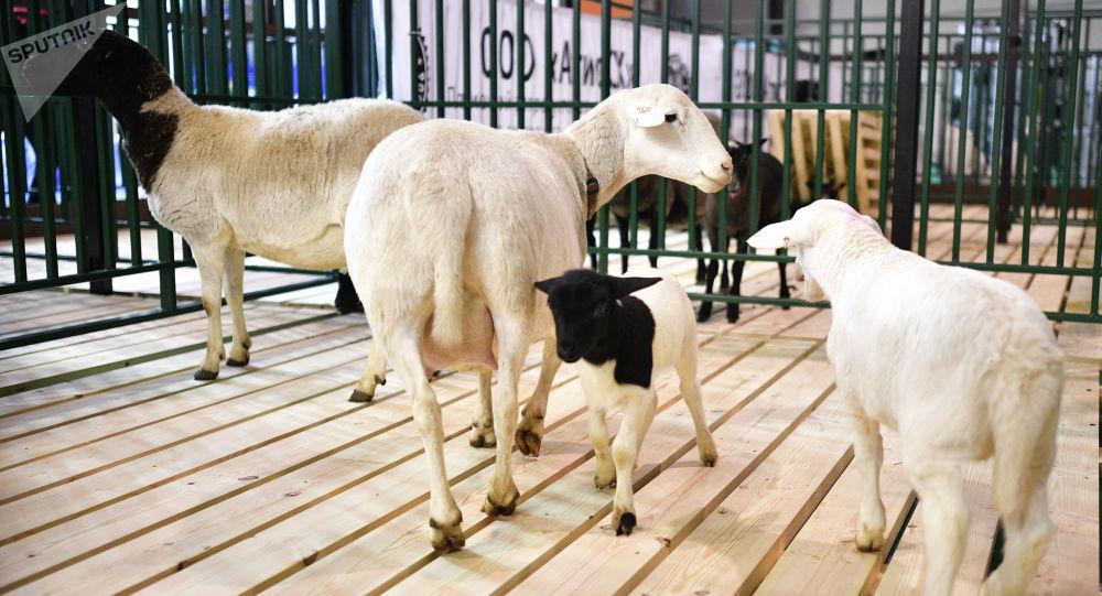 Овцы породы Дорпер. Архивное фото