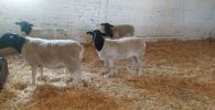 Овцы породы дорпер из Австралии
