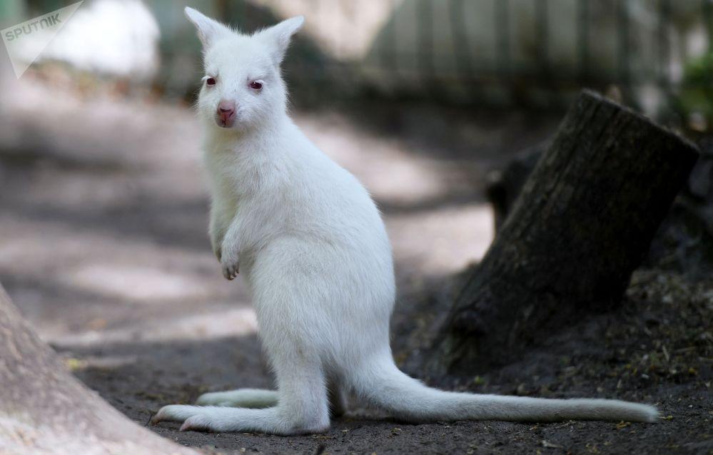 Кенгурёнок-альбинос родился в частном зоопарке гостиничного комплекса Регина в Казани