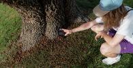 Девушка с телефоном фотографирует цикад у основания дерева в Блумингтоне, штат Индиана