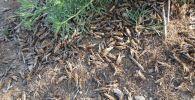 Баткен облусунда зыянкечтердин личинкаларын изилдөө учурунда 4 300 гектар жерден чегирткенин уюгу табылган