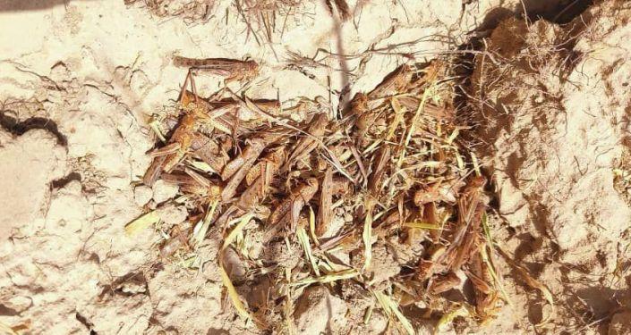 Очаги саранчи обнаружены на площади 4300 га в Баткенской области