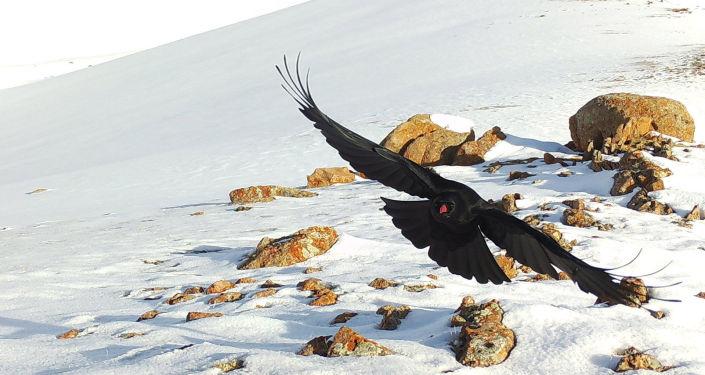 Клушица, сфотографированная на фотоловушку на территории Кочкорского района Нарынской области
