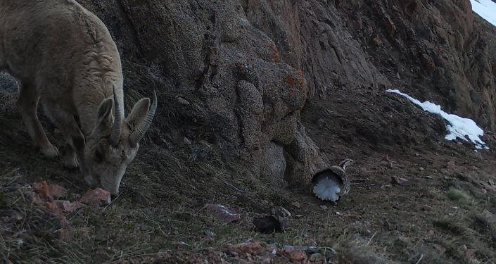 Козерог, сфотографированный на фотоловушку на территории Кочкорского района Нарынской области