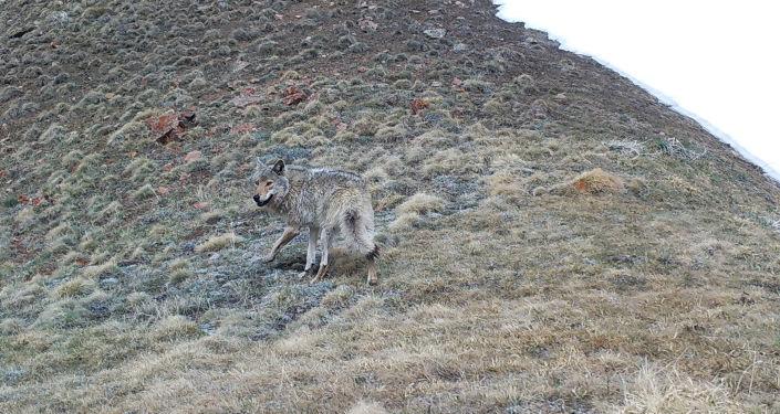 Волк, сфотографированный на фотоловушку на территории Кочкорского района Нарынской области
